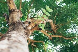 harmful trees